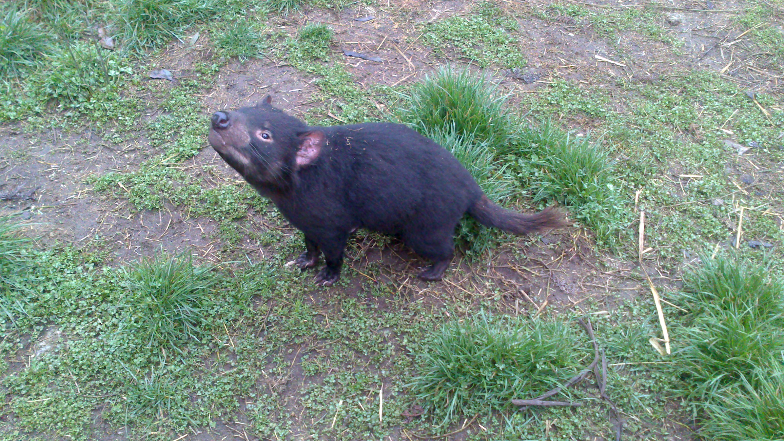 Tasmanian zoo incontro con il devil year around the