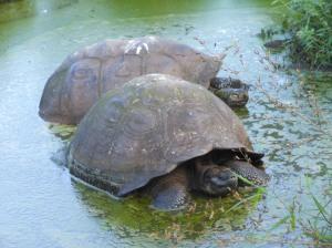 Reserva El Chato tartarughe giganti (35)