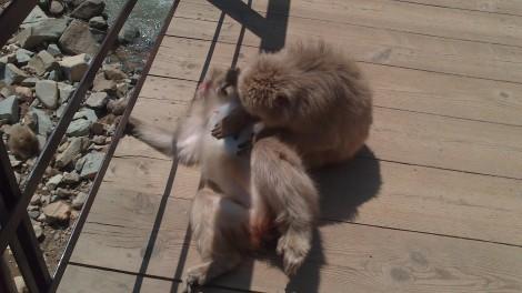 Jigokudani Yaen Koen_monkey spa (16)