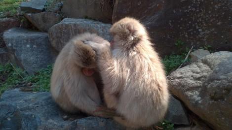 Jigokudani Yaen Koen_monkey spa (9)